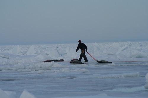 [Tienduizenden zeehonden worden doodgeknuppeld in Canada]