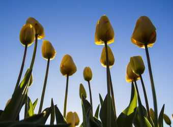 Search image nederland tulpen