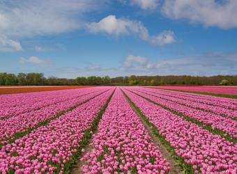 Search image nederland tulpenveld
