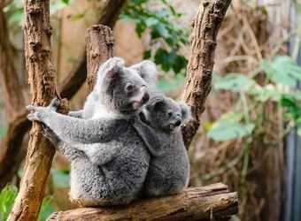 Search image koala