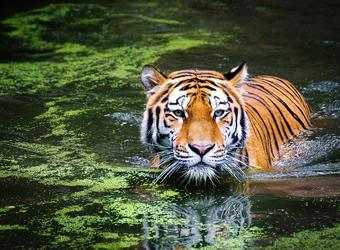 Search image tijger in het water